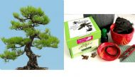 Premium Bonsai Kit in Gift Box (Japanese Black Pine) 8Piece,Includes CERAMIC Pot